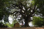 Ba cây cổ thụ và điều ước