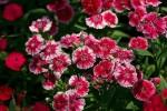Sự tích hoa cẩm chướng