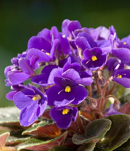 hoa-violet-2