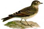 Sự tích chim sơn ca