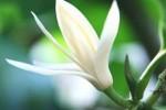 Sự tích hoa Ngọc Lan