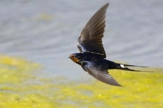 Người tiêu hoang và con chim Én