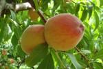 Truyền thuyết về trái Đào