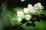 Sự tích hoa Linh Lan