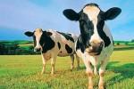 Bò béo bò gầy