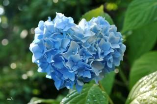 Sự tích hoa cẩm tú cầu