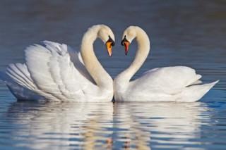 Tâm hồn và tình yêu của thiên nga
