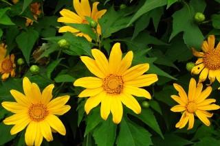 Sự tích hoa Dã Quỳ